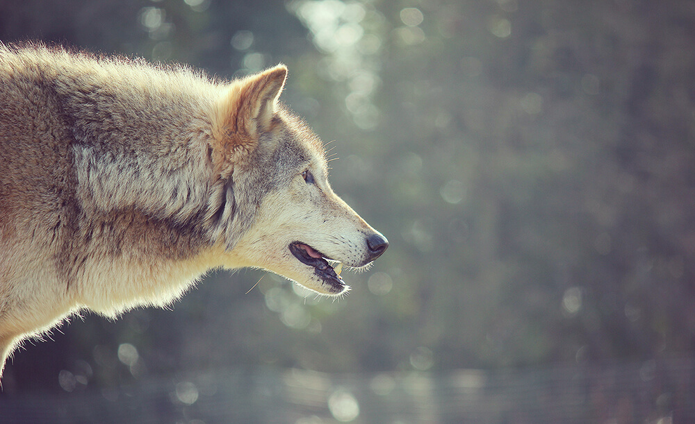 Wolf - Photography Course